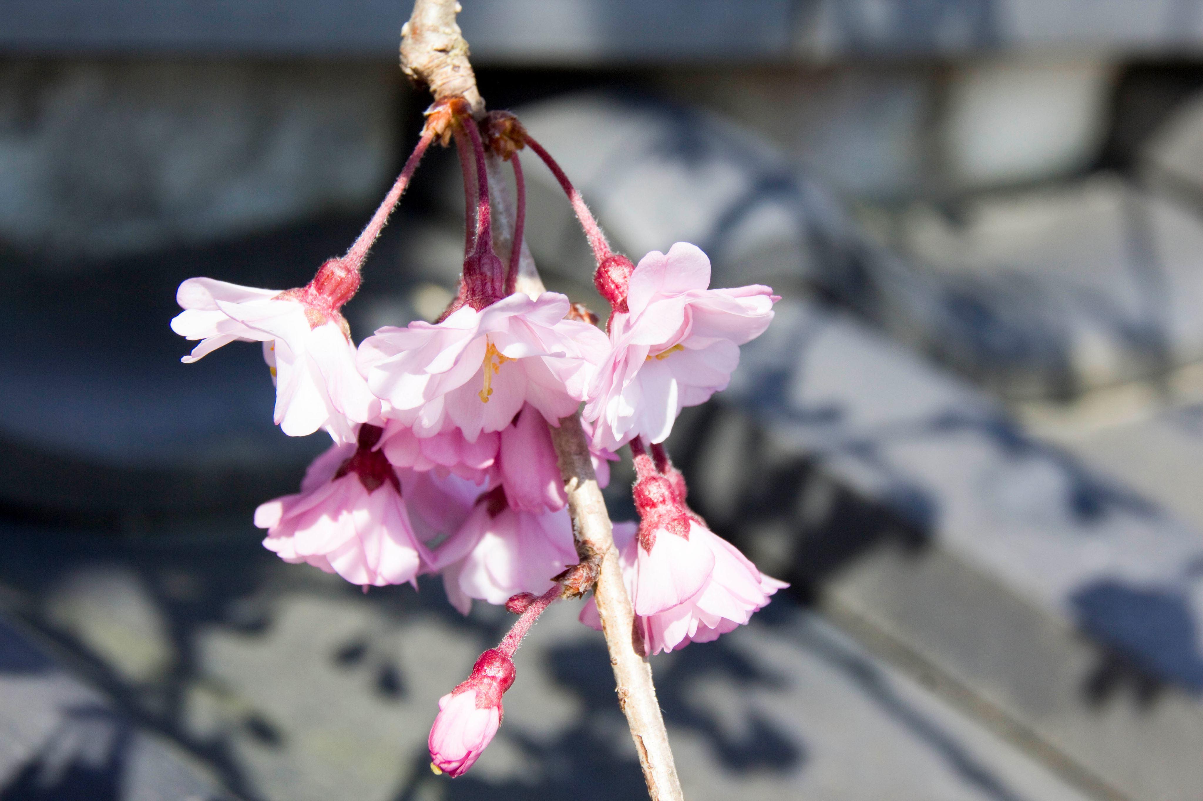 桜 2019年