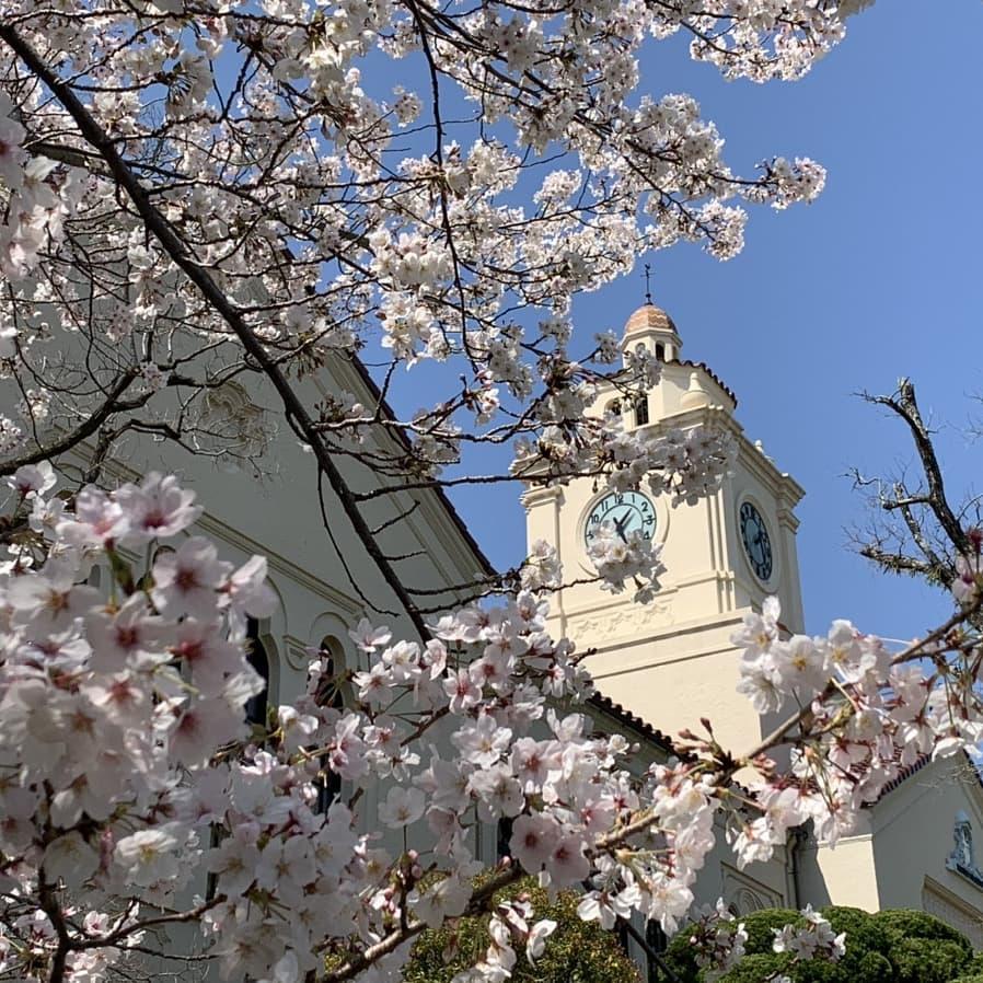 関西学院大学 桜